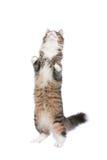 Gato derecho fotos de archivo libres de regalías