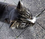 Gato desabrigado cinzento fotos de stock royalty free