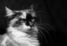 Gato desagradado em um fundo escuro foto de stock
