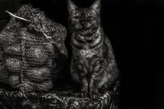 Gato descascado mal-humorado irritado que senta-se em um saco próximo de canto das batatas Rebecca 36 Copyspace Foto de Stock Royalty Free