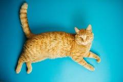 Gato descuidado do bichano do ruivo no fundo azul Fotos de Stock