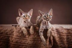 Gato - Devon Rex Fotos de Stock Royalty Free