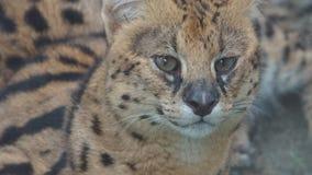Gato dirigido plano en el parque zoológico nacional de Malasia foto de archivo libre de regalías