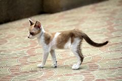 Gato disperso Imagem de Stock Royalty Free