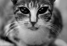 Gato disperso Fotos de Stock Royalty Free