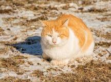 Gato disperso alaranjado e branco em um campo nevado Imagem de Stock