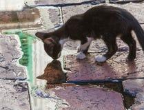 Gato disperso de Montenegro Foto de Stock