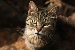 Gato disperso feroz na luz solar Fotografia de Stock Royalty Free