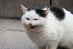 Gato disperso que ameaça Imagens de Stock