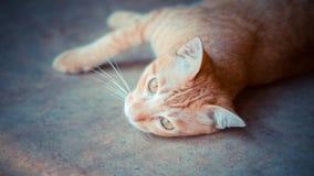 Gato disperso que encontra-se na espera com esperança fotografia de stock royalty free
