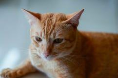 Gato disperso que encontra-se na espera com esperança Imagem de Stock Royalty Free