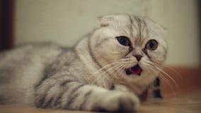 Gato divertido con su lengua que cuelga hacia fuera almacen de metraje de vídeo