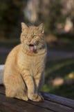 Gato divertido, cticking hacia fuera la lengua Imagen de archivo libre de regalías
