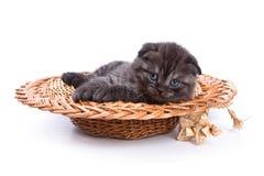 Gato divertido de británicos del gatito Imagenes de archivo