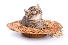 Gato divertido de británicos del gatito Fotografía de archivo