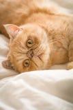 Gato divertido del jengibre en cama Fotos de archivo