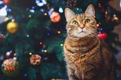 Gato divertido en casa que sienta en casa el fondo hermoso con un daccor del Año Nuevo, árbol de navidad de la Navidad con adorno Imágenes de archivo libres de regalías
