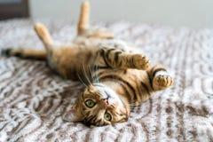 Gato divertido lindo de Bengala y el ver reservado foto de archivo