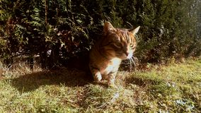 Gato divertido que se arrastra a través de un agujero en el jardín 4K