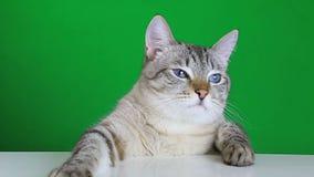 Gato divertido que se sienta en la tabla y las sacudidas su cabeza metrajes