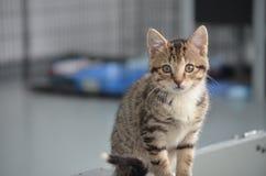 Gato do abrigo - Shorthair Tabby Kitten Imagens de Stock