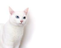 Gato do angora imagem de stock
