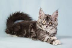 Gato do animal de estimação do gatinho Fotos de Stock