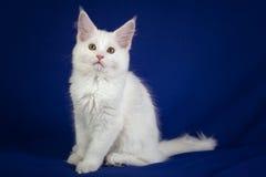 Gato do animal de estimação do gatinho Fotos de Stock Royalty Free
