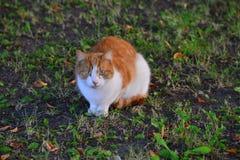 Gato do animal de estimação que senta-se na grama imagens de stock royalty free