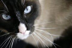 Gato do ataque Imagens de Stock