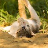 Gato do bebê para trás que joga e que levanta Foto de Stock