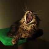 Gato do bocejo Fotos de Stock Royalty Free