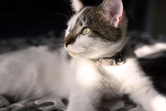 Gato do branco e do Brown Imagem de Stock Royalty Free