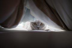 Gato do Británico de Lila na cama fotos de stock