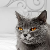 Gato do cabelo curto de Bbritish imagem de stock royalty free
