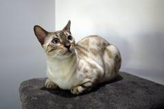 Gato do cabelo curto que senta-se em riscar o cargo imagem de stock