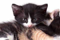Gato do cachorrinho Fotos de Stock