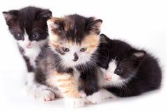 Gato do cachorrinho Foto de Stock Royalty Free