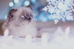 Gato do calendário do feriado do Natal, do ano novo, pi azul e branco acolhedor foto de stock royalty free