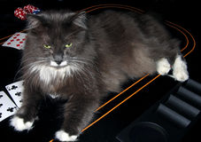 Gato do casino Fotografia de Stock Royalty Free