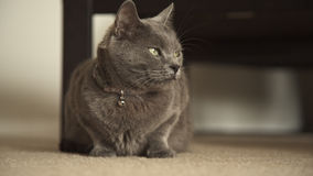 Gato do cinza azul do russo vídeos de arquivo
