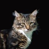 Gato do cinza do animal de estimação Imagem de Stock