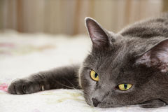 Gato do cinza do cabelo curto do close up Foto de Stock