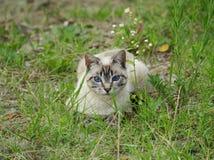 Gato do cinza dos olhos azuis Foto de Stock Royalty Free