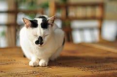 Gato do Close-up Imagens de Stock Royalty Free