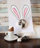 Gato do coelhinho da Páscoa que come o ovo de chocolate Gatinho de olhos azuis com as orelhas de coelho pintadas na folha branca Foto de Stock Royalty Free