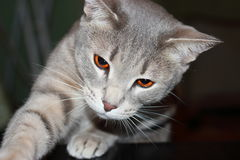 Gato do conhaque Foto de Stock