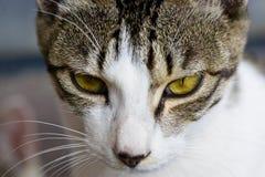 Gato do delírio Imagem de Stock