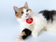 Gato do dia do Valentim do St de Tricoloured Imagens de Stock