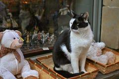 Gato do dominó Imagens de Stock Royalty Free